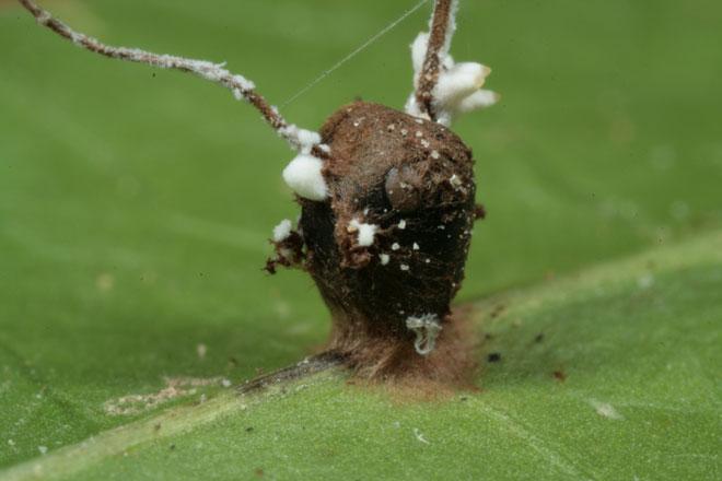 A cabeça de uma formiga Camponotus leonardi, já tomada e morta pelo fungo Ophiocordyceps unilateralis. Créditos: David Hughes.
